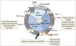 Light Independent Reactions Definition Photosynthesis Reactants Tutorvista Com