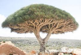 the strange blood tree of socotra island owlcation