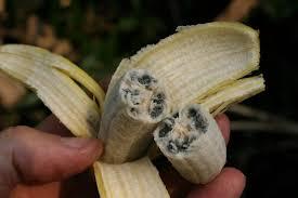 tiny banana we eat sterilized bananas nerddna