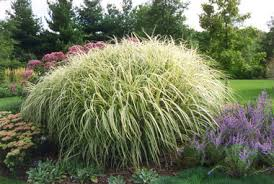 lawn and garden you can t beat ornamental grass for show low