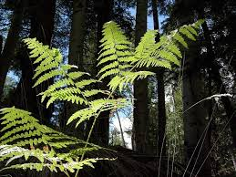 native irish plants bracken pteridium aquilinum ireland u0027s wildlife