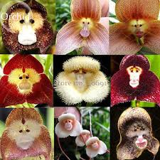 monkey orchid monkey orchid flower 50 seeds flower type peculiar