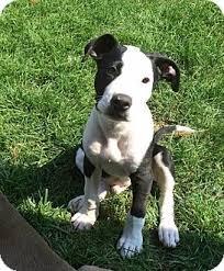 american pitbull terrier mix panda adopted puppy dayton oh american pit bull terrier pit