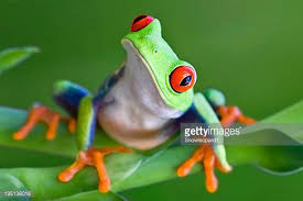 eyed tree frog stock photos and pictures getty images
