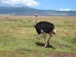 hd wallpapers ostrich hd wallpapers