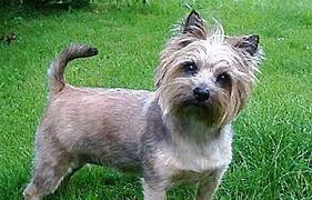 cairn hair cuts cairn terrier an old dog with strong hunting instincts black dog