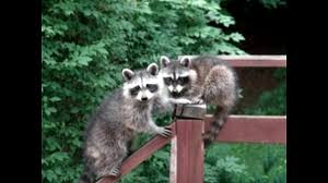 here u0027s how you can get rid of raccoons for free youtube