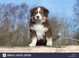 australian shepherd dog puppies dog australian shepherd aussie puppy red tricolor sitting on a