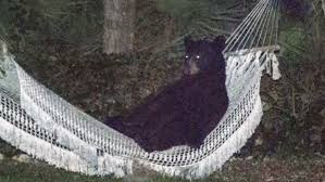 black bear enjoys repose in a hammock in daytona beach