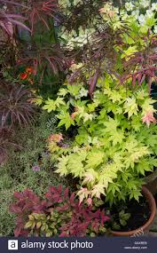 acer potted japanese maple trees in a small garden space