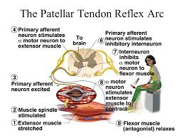 Motor Reflex Arc Chapter 13 Spinal Cord Spinal Nerves And Somatic Reflexes Ppt