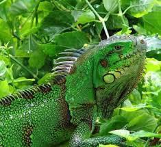 imágenes de iguanas verdes ui7u las iguanas verdes