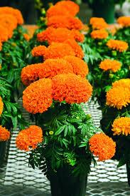 marigold moonsong deep orange f1 all america selections