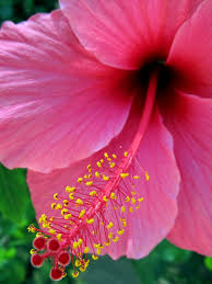 What Is The Meaning Of The Hibiscus Flower - best 25 hibiscus flowers ideas on pinterest hawaii flowers