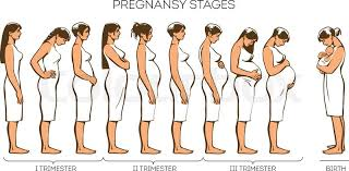 Pregnant Female Anatomy Diagram Stages Of Pregnancy Vector Image Of Stages Of Pregnancy Pregnant