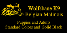belgian shepherd rescue california search and rescue dogs for sale narcotics dogs explosives dogs