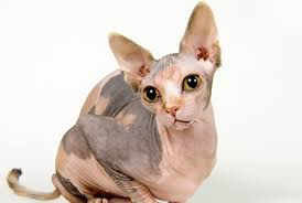 11 not so fluffy facts about sphynx cats mental floss