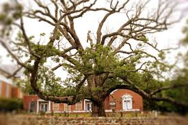 tree made by george washington is dead
