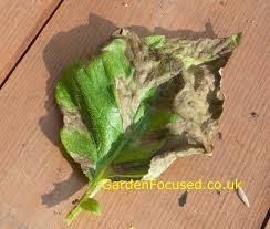 Plant Diseases With Pictures - potato pests and diseases gardenfocused co uk