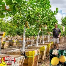 When Does A Lemon Tree Produce Fruit - citrus u0026 fruit trees moon valley nurseries