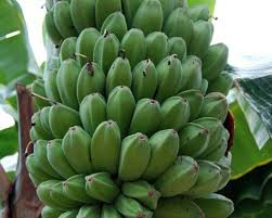 musa sikkimensis darjeeling banana ornamental fruit 5 seeds