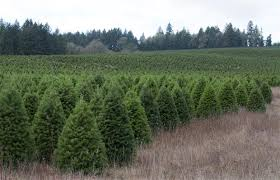 christmas tree prices your guide to the real christmas tree