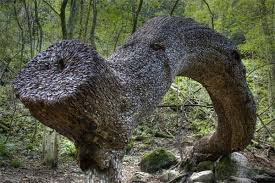 this unique tree can only be found in the uk