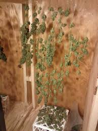 northern lights yield indoor 1st grow in my garage auto northern lights in grow box under 400w
