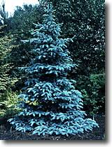 blue spruce trees colorado blue spruce watters garden center