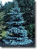 blue spruce colorado blue spruce watters garden center