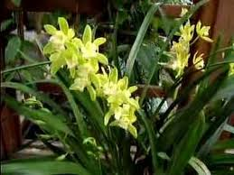 cymbidium orchids cymbidium orchid care made easy