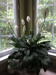 peace lilly peace plant spathiphyllum our house plants