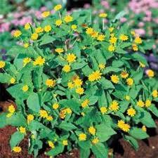 Flower Seeds Online - amazon com outsidepride melampodium derby 400 seeds patio