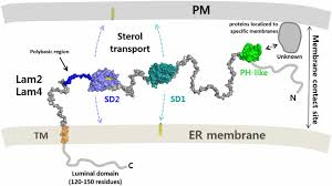 The Domain Map Structural Basis Of Sterol Recognition And Nonvesicular Transport