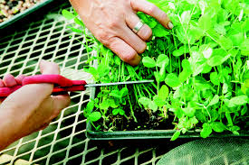 growing pea shoots step by step the splendid table