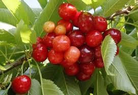 Online Fruit Trees For Sale - sunburst cherry trees for sale buy online european delivery