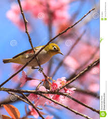 bird sitting on cherry blossom tree stock image image of stem
