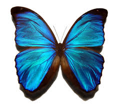 file blue morpho butterfly jpg
