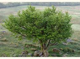 hazel corylus avellana trees woodland trust