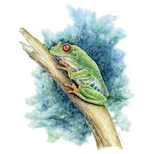 eyed tree frog limited edition print wildlife drawings by