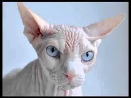 Excepcional Gato Spnynx O Gato sem pelo - YouTube &CV14