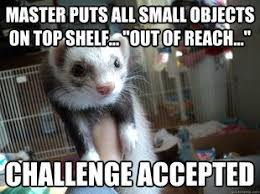 Ferret Meme - ferret challenge accepted i want another one but i don t think the