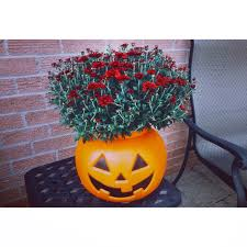 plant your mums in trick or treating pumpkins mums from canadian