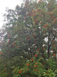 native alaskan plants alaska u2013 amateur bot ann ist