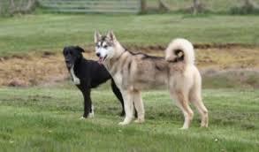 belgian shepherd x alaskan malamute suki u2013 1 year old female husky cross alaskan malamute dog for adoption