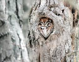 owl on earth did he fit in there cunning bird of prey camouflages