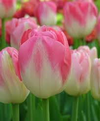 tulip dreamland single late tulips tulips flower bulb index