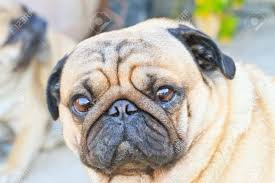 portrait a cute pug dog with a sad flat face stock photo picture