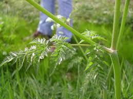 plants native to washington state wild chervil identification and control anthriscus sylvestris