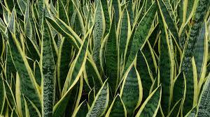 not all greenery is good 10 hazardous houseplants alternet